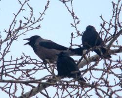 Серая ворона Corvus cornix