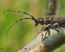 Чёрный сосновый усач Monochamus galloprovincialis