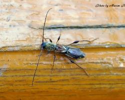 Коротконадкрыл малый Molorchus minor (L.)