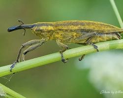 Фрачник обыкновенный. Lixus iridis