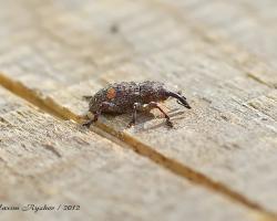 Долгоносик жердняковый Pissodes piniphilus (Hrbst.)