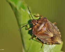 Щитник обыкновенный Carpocoris pudicu