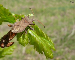 Краевик щавелевый (Coreus marginatus)
