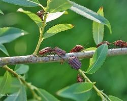 Щитник линейчатый Graphosoma lineatum