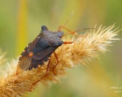 Щитник красноногий (Pentatoma rufipes)