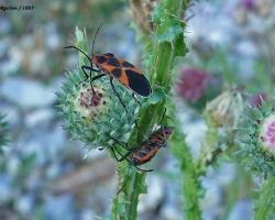 Tropidothorax leucopterus