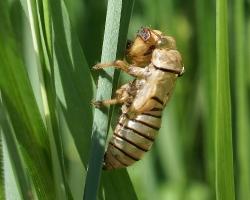 Экзувий цикады горной (Cicadetta montana)