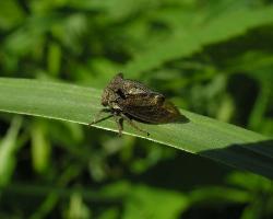 Горбатка Centrotus cornutus