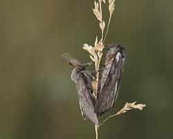 Шелкопряд-монашенка (Lymantria monacha)