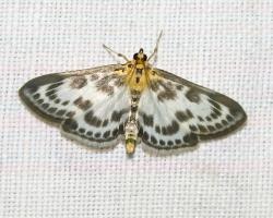 Огневка пестрая крапивная (Eurrhypara urticata L.)