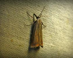 Травянка соломенная (Chrysoteuchia culmella)