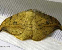 Серпокрылка березовая Drepana falcataria