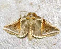 Пухоспинка малинная (Habrosyne pyritoides)