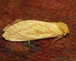 Тонкопряд хмелевый (Hepialus humuli)