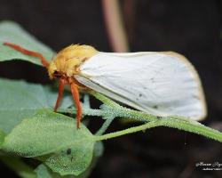 Тонкопряд хмелевой (Hepialus humuli)
