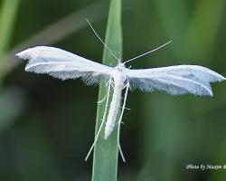 Пальцекрылка сливовая (Pterophorus pentadactyla)