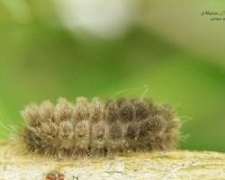 Гусеница розовой лишайницы (Miltochrista miniata)