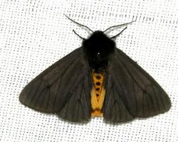 Черная медведица (Epatolmis caesarea)