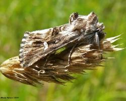 Совка-луночка Calophasia lunula