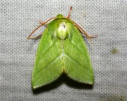Совка челночница зеленая - Pseudoips prasinanus (Linnaeus, 1758)
