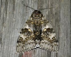 Голубая орденская лента (Catocala fraxini)