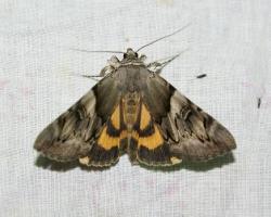 Желтая орденская лента Catocala fulminea