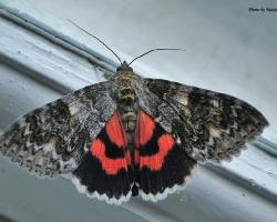 Ленточница красная Catocala nupta