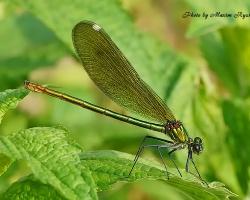 Стрекозы (Odonata)