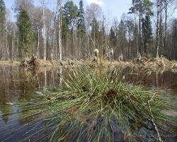 Кочка пушицы влагалищной (Eriophorum vaginatum L.) на переходном болоте
