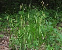 Осока лесная (Carex sylvatica Huds.)