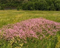 Вязель разноцветный (Coronilla varia L.)