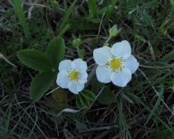 Земляника зеленая, или Клубника (Fragaria viridis (Duch.) Weston)