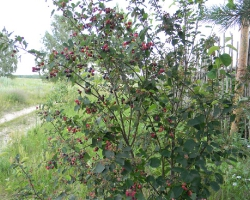 Ирга колосистая (Amelanchier spicata (Lam.) C. Koch)