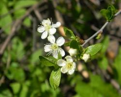 Вишня обыкновенная (Cerasus vulgaris Mill.)