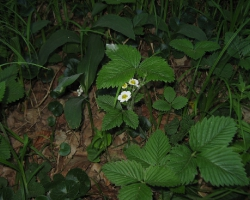 Земляника мускусная (Fragaria moschata (Duch.) Weston)