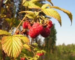 Малина (Rubus idaeus L.)