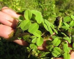 Сальвиния плавающая (Salvinia natans (L.) All.)