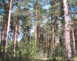 Старый сосновый лес