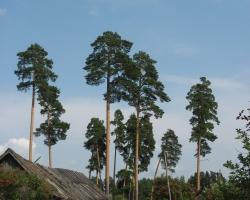Посёлок Барахмановского лесничества