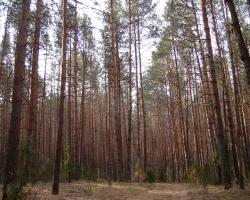 Сосняк в Кемлянском лесничестве